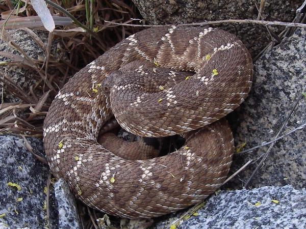Snake - RQ
